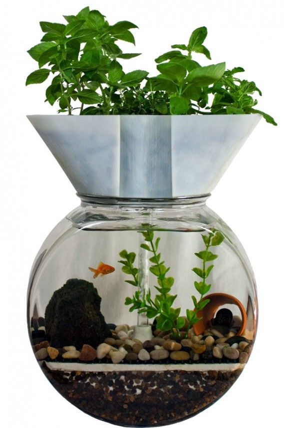 Best houseplants to clean goldfish aquarium water the for Aquaponics fish for sale