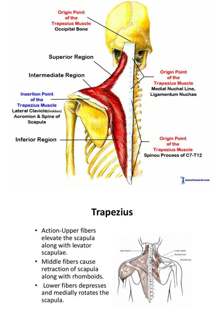 Berühmt Anatomie Muskel Praxis Fotos - Menschliche Anatomie Bilder ...