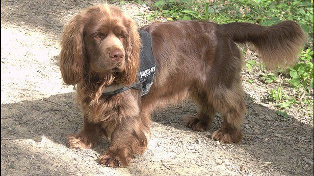 The Sussex Spaniel is descendant from various spaniel breeds including the now-extinct Norfolk Spaniel, the Field Spaniel, and English Springer Spaniel. Description from petguide.com.