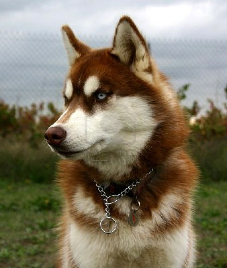 Red Husky. What a beautiful animal