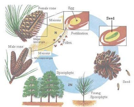 C1 W8 Science Conifer life cycle