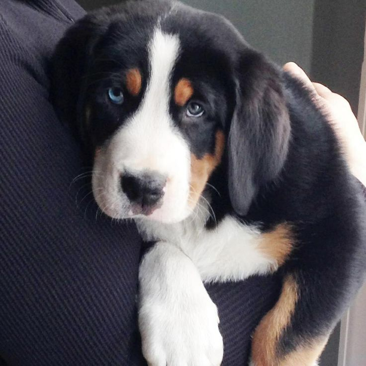 Greater swiss mountain dog puppy - Guinness