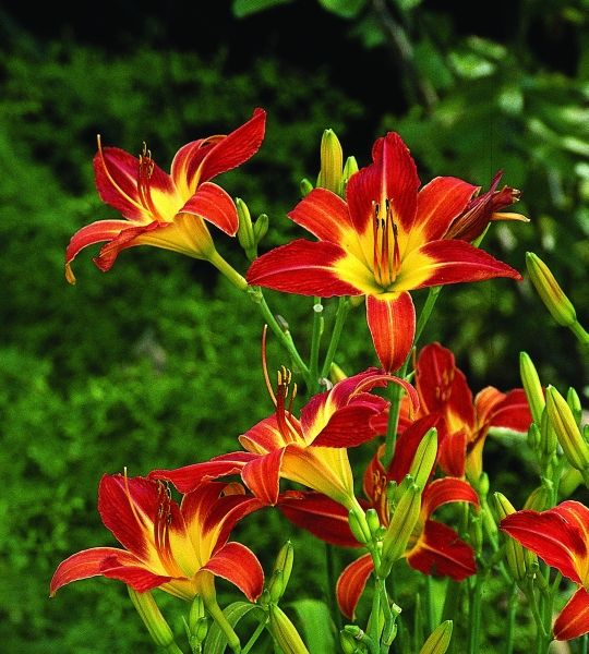 Woods 68 for sale buy Hemerocallis 'August Flame'