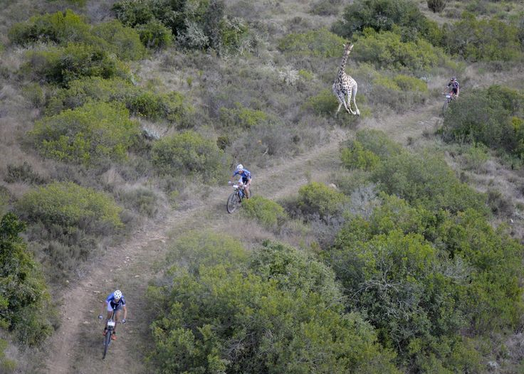 A competitive giraffe decided to get involved in a human mountain bike race.  The cyclists were taking park in the Cape Pioneer Trek, a mountain bike race in South Africa when the enthusiastic giraffe darted out of the bush and began to give chase.