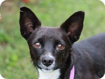 Nanuet, NY - Chihuahua/Pomeranian Mix. Meet Sissy, a dog for adoption. http://www.adoptapet.com/pet/16726142-nanuet-new-york-chihuahua-mix