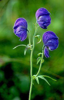 Monkshood An Alaskan Wildflower