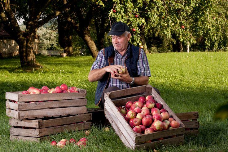 Pyszne, zdrowe i POLSKIE jabłka! Hit! #jedzmyjabłka #pijmycydr