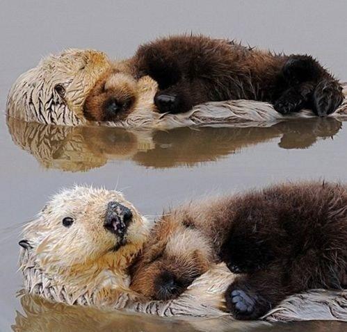 otter pups, sleeping on their moms