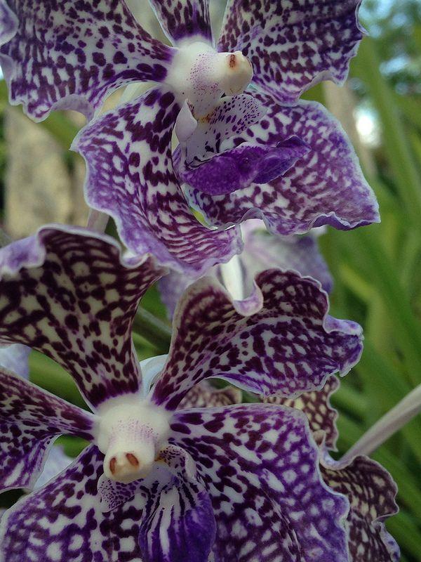 Blue banda orchid by e villa unusual plants flowers for Plant de villa