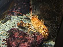 American lobster - Wikipedia, the free encyclopedia