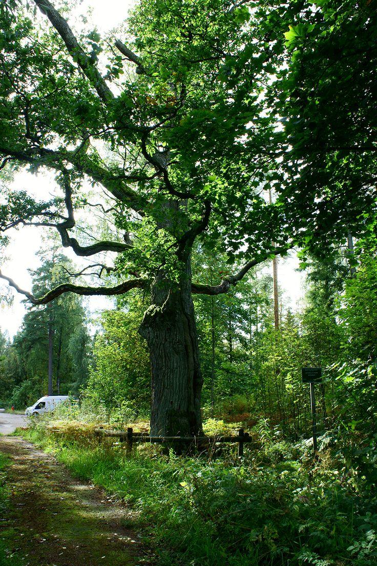 """Kuninkaan tammi, jonka mukaan alue on saanut nimensä. Tarinan mukaan Ruotsi-Suomen kuningas Kustaa III olisi istuttanut tammen vieraillessaan Suomessa 1700-luvun lopulla. / An over-300-year-old oak tree gives the area its name, """"The King's Oak""""."""