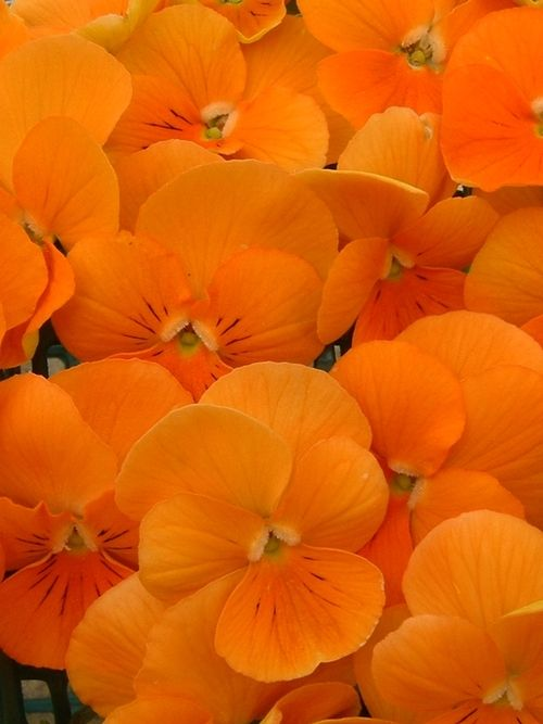 Orange is a color of happiness and life. This color looks great everywhere and can bring cheer and brightness in your garden. This color is bound to make you smile all year round because it is highly popular with spring and fall blossoms.