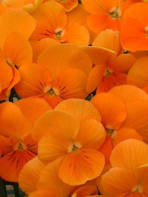orange pansies #bakeinspired #violette