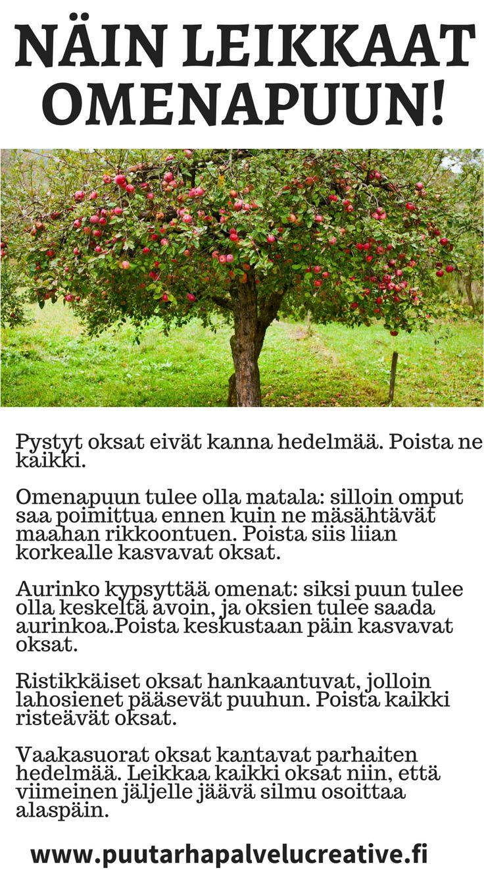 Nyt on aika leikata hedelmäpuut. Näillä ohjeilla saat maukkaampia ja suurempia hedelmiä! www.puutarhapalvelucreative.fi