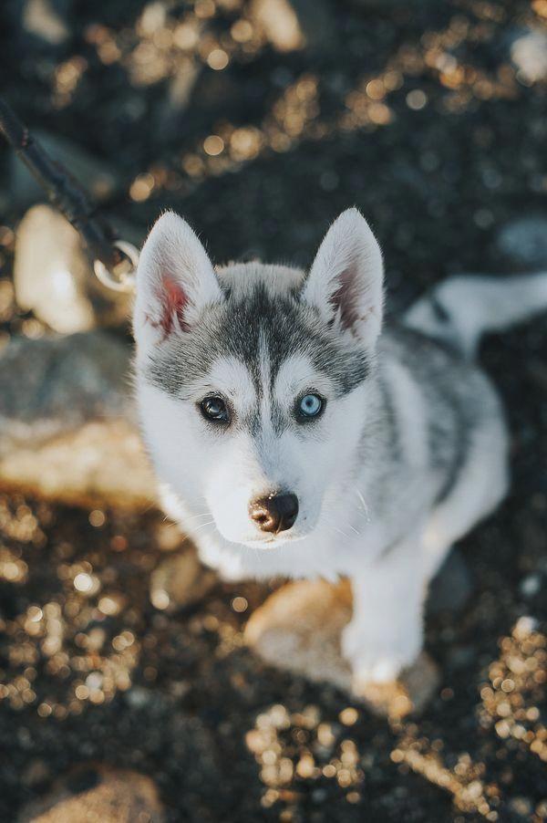 Adorable Siberian Husky One Brown Eye One Blue Eye C Nunn Other