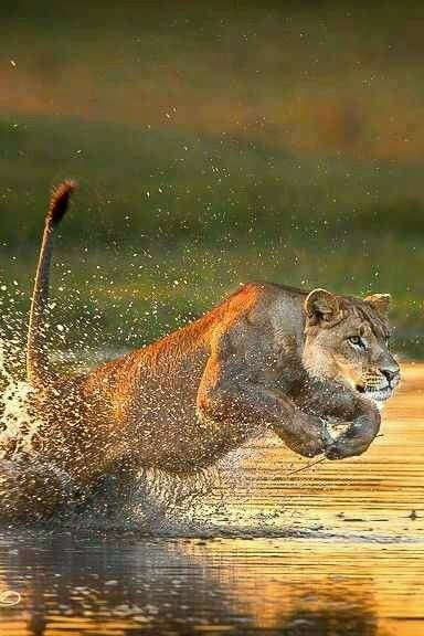 Lioness on the water!  Definitely hopes that her future    mate likes to ride her around  on a  jet ski!!!  You know, at least once in a while.