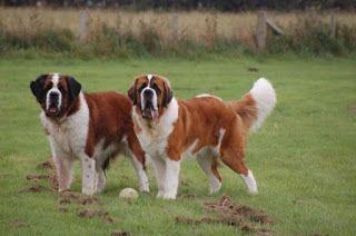 Dünyanın En Büyük Köpek Irkları Nelerdir ?