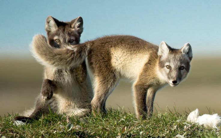 Photographer Gunther Riehle took this shot of a pair of Arctic fox cubs playing on the Tundra on Wrangel Island in Russia's far east