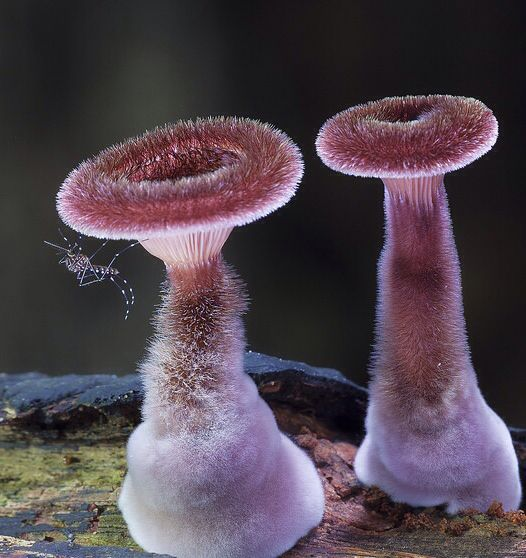 Mosquito and fuzzy mushrooms. Photographed by Steve Axfordby