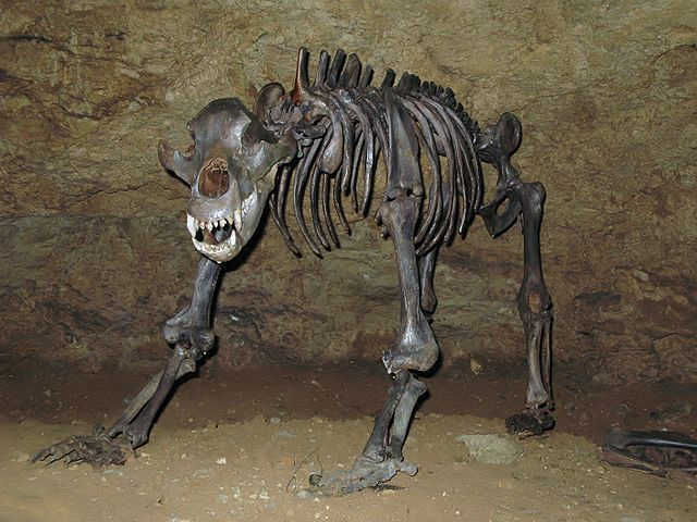 "An article published in ""Journal of Quaternary Science"" describes a research on the cave bear (Ursus spelaeus) (photo ©Ra'ike). An international team of paleontologists led by Professor Hervé Bocherens of the Senckenberg Center for Human Evolution and Palaeoenvironment (HEP) at the University of Tübingen studied the bones of these ancient animals and concluded that their diet was vegan. Read the details in the article!"