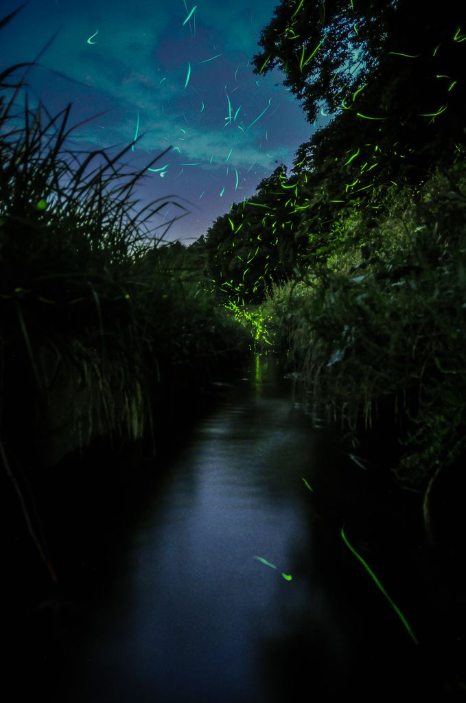 Fireflies on the river  Looking like a picture of a fantasy world! Taken with Nikon set.  Camera: ニコン Nikon D90 http://kakaku.com/item/00490711142/  Lens: シグマ・Foveonスクウェア SIGMA 17-50mm F2.8 EX DC OS http://kakaku.com/item/K0000125658/  #canon #sigma #photography #japan