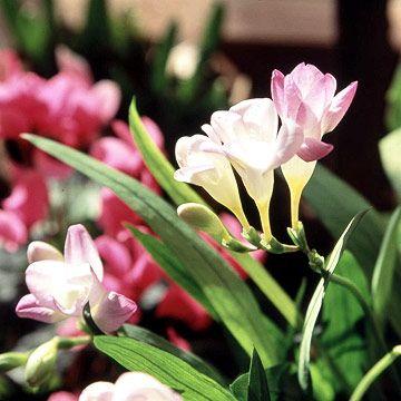 growing freesia flowers