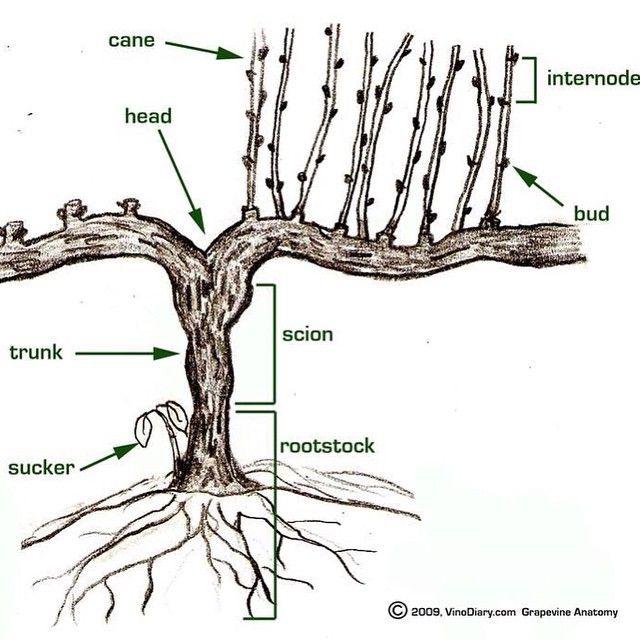 The parts of a grape vine. https://igcdn-photos-e-a.akamaihd.net ...