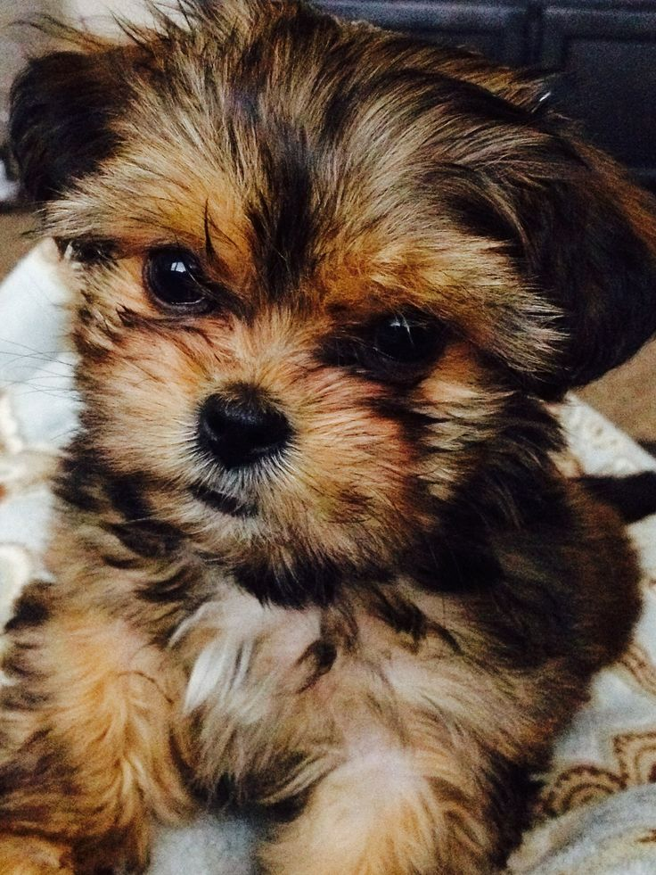 When Do Yorkie Puppies Start Eating Puppy Food