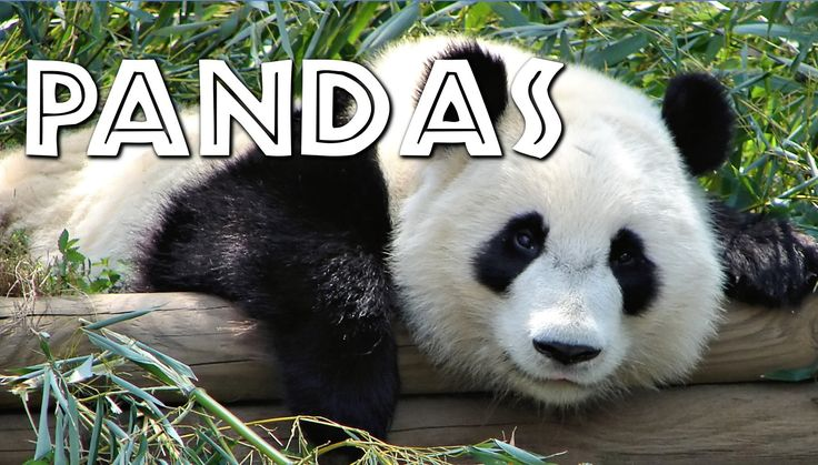panda essay for kids Explore new victory theater's board panda's home on pinterest | see more  ideas about activities, day care and kids education.
