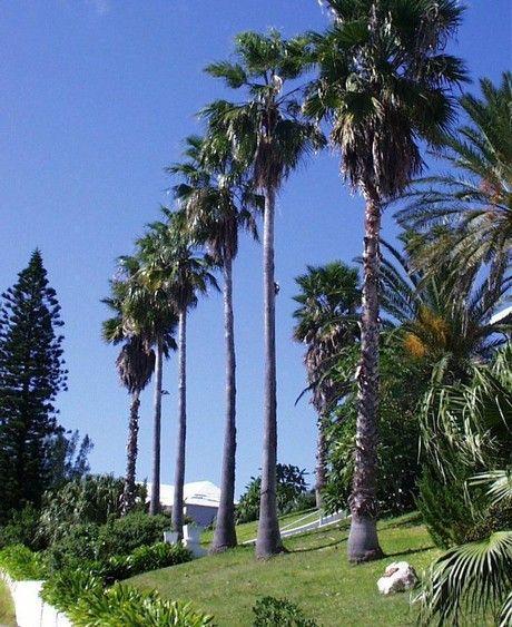 les 25 meilleures id es de la cat gorie palmier washingtonia sur pinterest californie palmiers. Black Bedroom Furniture Sets. Home Design Ideas