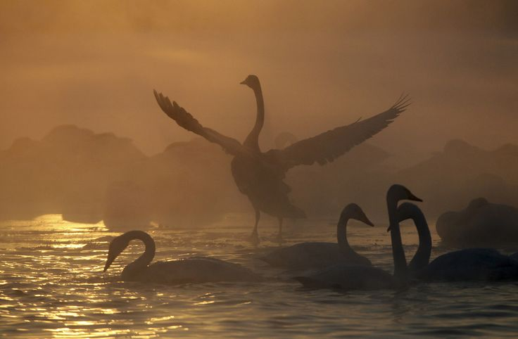 Swans swim over a lake, with the air temperature at about minus 35 degrees Celsius (minus 31 degrees Fahrenheit) as steam ascends above the water during sunset near the village of Urozhainy, Russia, on January 26, 2015.