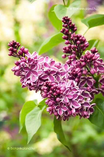 Kerti orgona virágzás:május