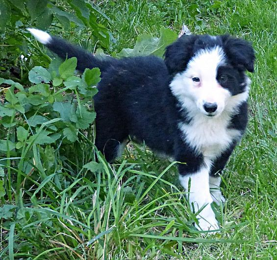 Border Collie Puppies Pet Dog Puppies For Sale in NY