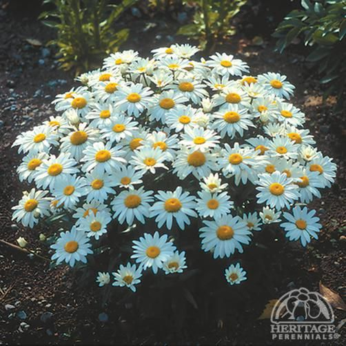 """Shasta Daisy 'Snowcap' - A compact Shasta daisy cultivar,12-15"""" h. .Bloom July - Sept.**Suggest cutting back to basal leaves to prolong life of plant."""