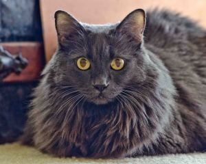 Abby is an adoptable Domestic Long Hair-Gray Cat in Seattle, WA. **Important Note** You won't find this kitty at the shelter. This kitty is waiting patiently in foster care for your call. Please conta...