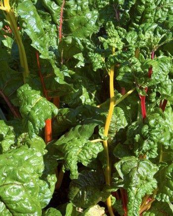Mangold är en läcker och snygg grönsak som finns med gröna, vita, röda, orange och gula stjälkar. De krusiga gröna bladen används som spenat medan stjälkarna kokas för sig och äts med smör ungefär som sparris. Mangold kan skördas hela säsongen ända tills vintern kommer bara man kontinuerligt förser dem med gödselvatten eller gräsklipp ovanpå jorden.