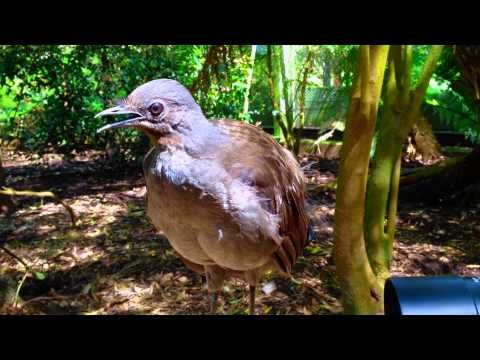 The amazing lyrebird mimicking children toy gun and other sounds - YouTube