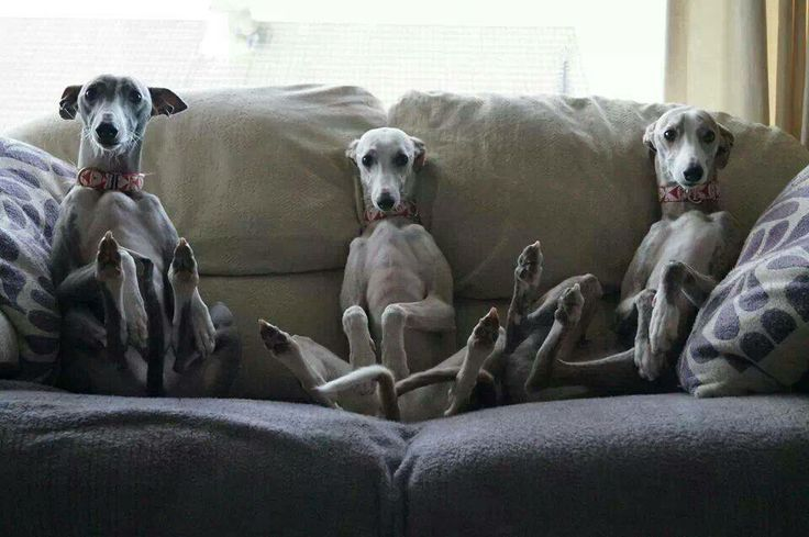 80 Best Images About Italian Greyhounds On Pinterest