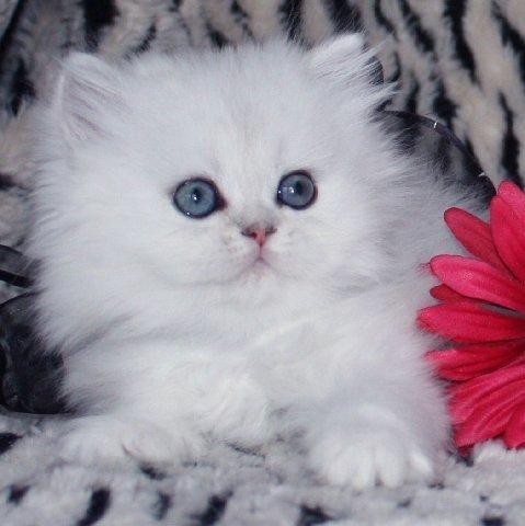 Persa Himalayo, Mascotas Tiernas, Favorito, Gatitos, Animales Lindos Gatitos, Gatos Gatitos Pt 2, Gatitos Bebé, Gatitos Adorables, Gatitos Blancos