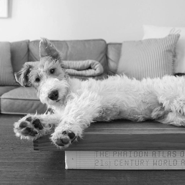 589 best Wire Fox Terrier images on Pinterest | Wire fox terriers ...