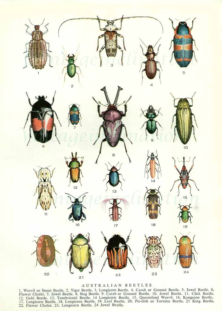 Beetles 1954 vintage print Australian beetles insects illustration 24 colorful varieties. $10.50, via Etsy. Plus