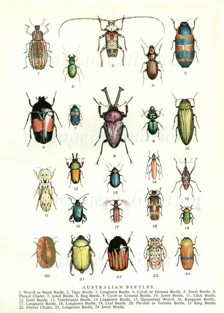 Beetles 1954 vintage print Australian beetles 24 colorful varieties.  via Etsy.