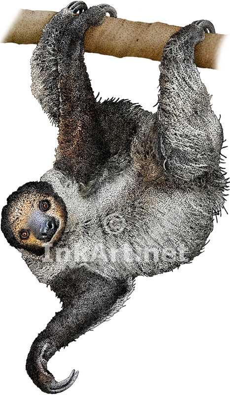 Pen and ink line art drawing of a Linnaeus's Two-Toed Sloth (Tamandua mexicana)