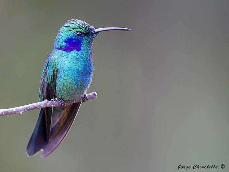 Green Violet-ear (Colibri thalassinus) Green Violet-ear
