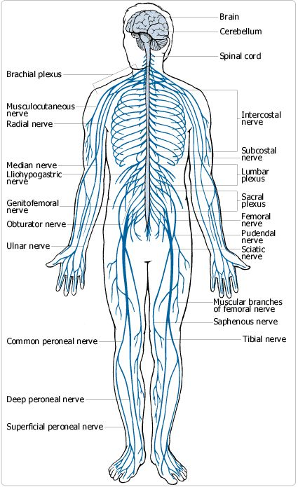 151 best images about anatomy and physiology on pinterest, Muscles