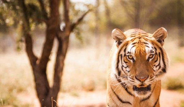 Sud Africa – Tigre