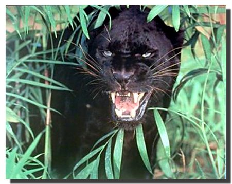 This wonderful Black Panther wild animal poster will surely add a hint of understated elegance to your home decor. This Jungle and safari wall art will fetch you a lot of compliments from your guests. This wonderful Black Panther with angry face picture will look amazing hanged in your living room, bedroom or lobby area. Jungle and safari themed wall posters range from realistic.