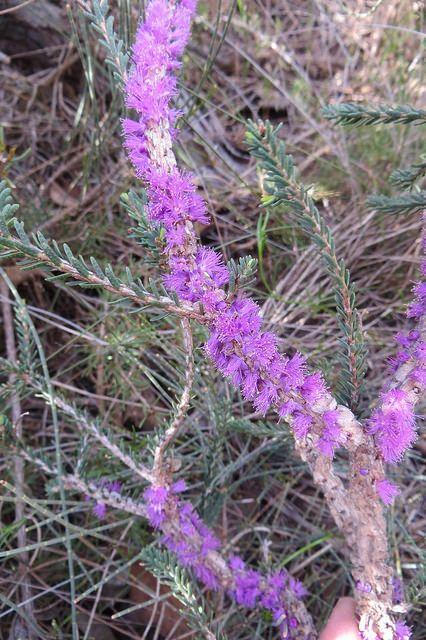 Melaleuca suberosa   by Westflora