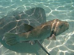 Und überall beim Schnorcheln findet man den Mantarochen und andere seltene Fische
