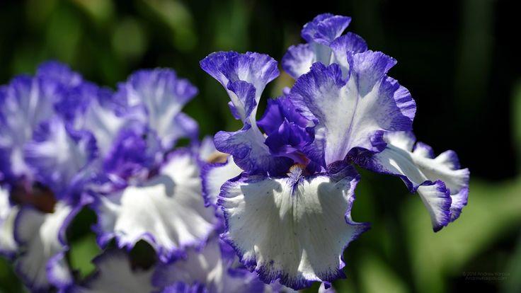 Mooie iris bloem achtergrond 1920x1080. Gratis bureaublad achtergronden 1920 x 1080 #22